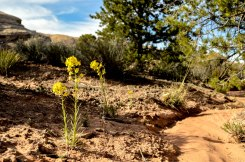 Flowers break through the cryptobiotic soil and get some highlights from the sun at the Needles District. Photo: Jillian Clemente.