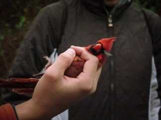 A participant holds a male Northern Cardinal with the peace sign grip.