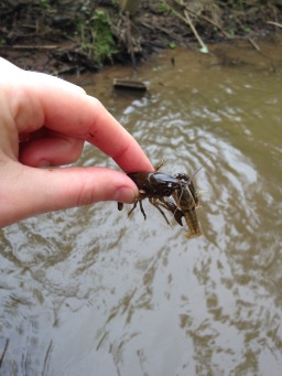 "One crayfish wanted to, um, ""hold on"" to his buddy. PC: Jillian Clemente"