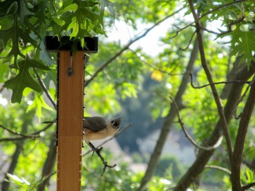 Tufted titmouse, my favorite. Photo: Jillian Clemente